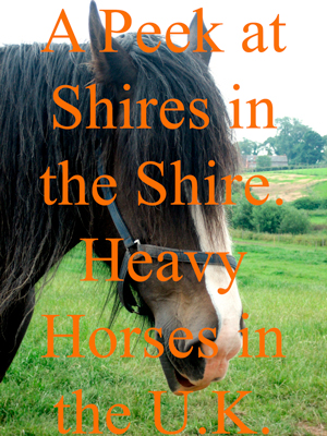 A Peek at Shires in the Shire. Heavy Horses in the U.K.
